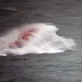 Spirit of Guernsey off St Martin's Point 26-01-14 Pic by Tony Rive (11).jpg